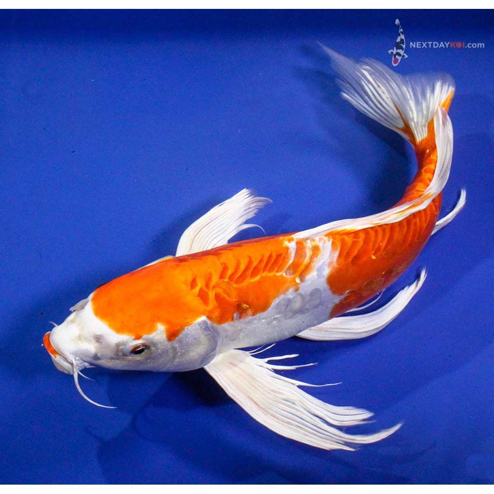 Butterfly koi fish 15 kikusui butterfly koi koi fish for Dragon koi for sale