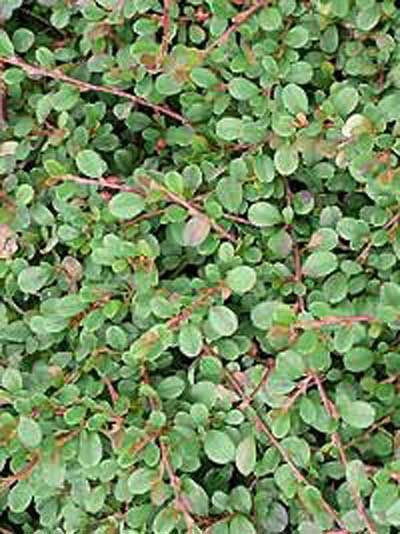 cotoneaster procumbens 39 streibs findling 39 immergr ne. Black Bedroom Furniture Sets. Home Design Ideas