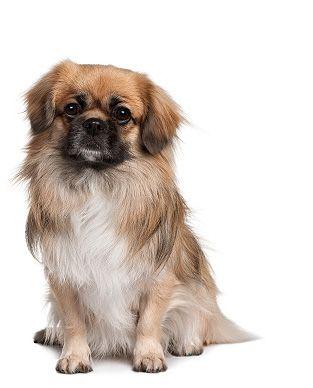 Tibetan Spaniel Dog Information