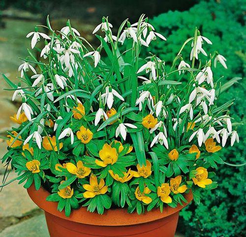 Cibuľnaté trvalky | Kvety a Záhrada