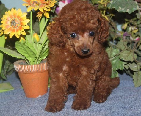 View All Poodle Puppies For Sale Poodle Puppies For Sale Poodle