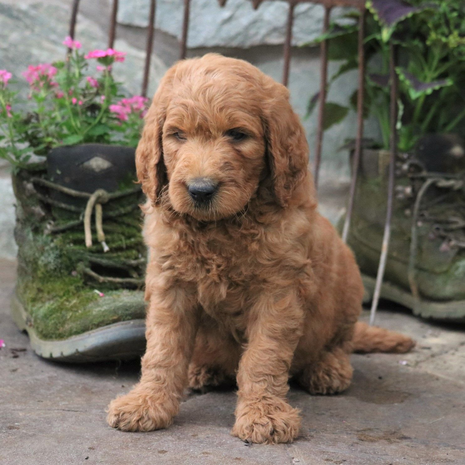 Cheerful Goldendoodle Lancaster Puppies Cute Dogs