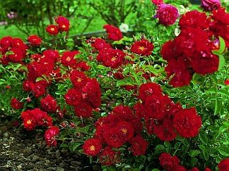 Red Ribbons Bare Root Rose New Garden Plants Pinterest