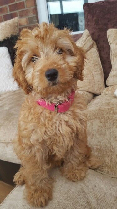Mini Goldendoodle Weight At 12 Weeks
