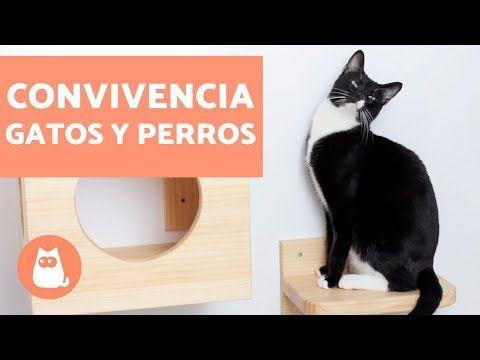 Cómo Hacer Que Un Gato Acepte A Un Perro Si Vives Con Un Gato Y Vas A Introducir Un Perro En El Hogar Es Importante Tener En Cuenta Perros Gatos