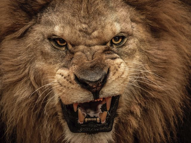 What Are Your Most Dominant Personality Traits Scary Lion Lion Pictures Animals
