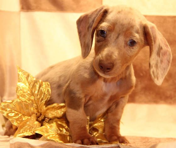 Isabella Fawn Tan Pied Dachshund Puppies In Co Ca Wa Or Mt