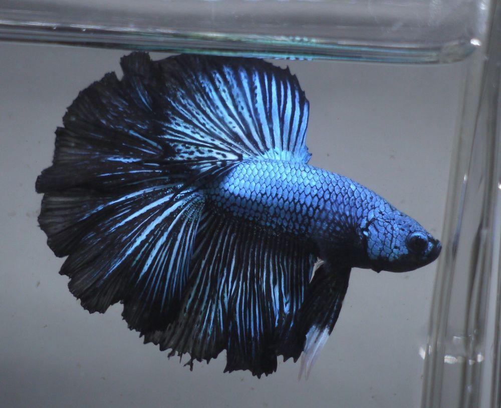 Live Tropical Fish Turquoise Blue Black Rosetail Halfmoon Betta A56 Pet Supplies Fish Aquariums Live Fish Ebay Halfmoon Betta Betta Tropical Fish