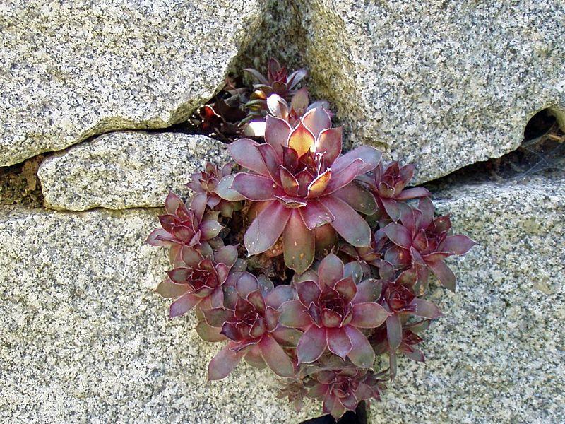 Dachwurz Rote Hybriden   Sempervivum Rote Hybriden   Der Dachwurz Besitzt  Ein Rosettenförmig Angeordnetes, Immergrünes