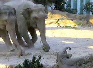 Baby Elephant Falls, Mommy Runs To Help