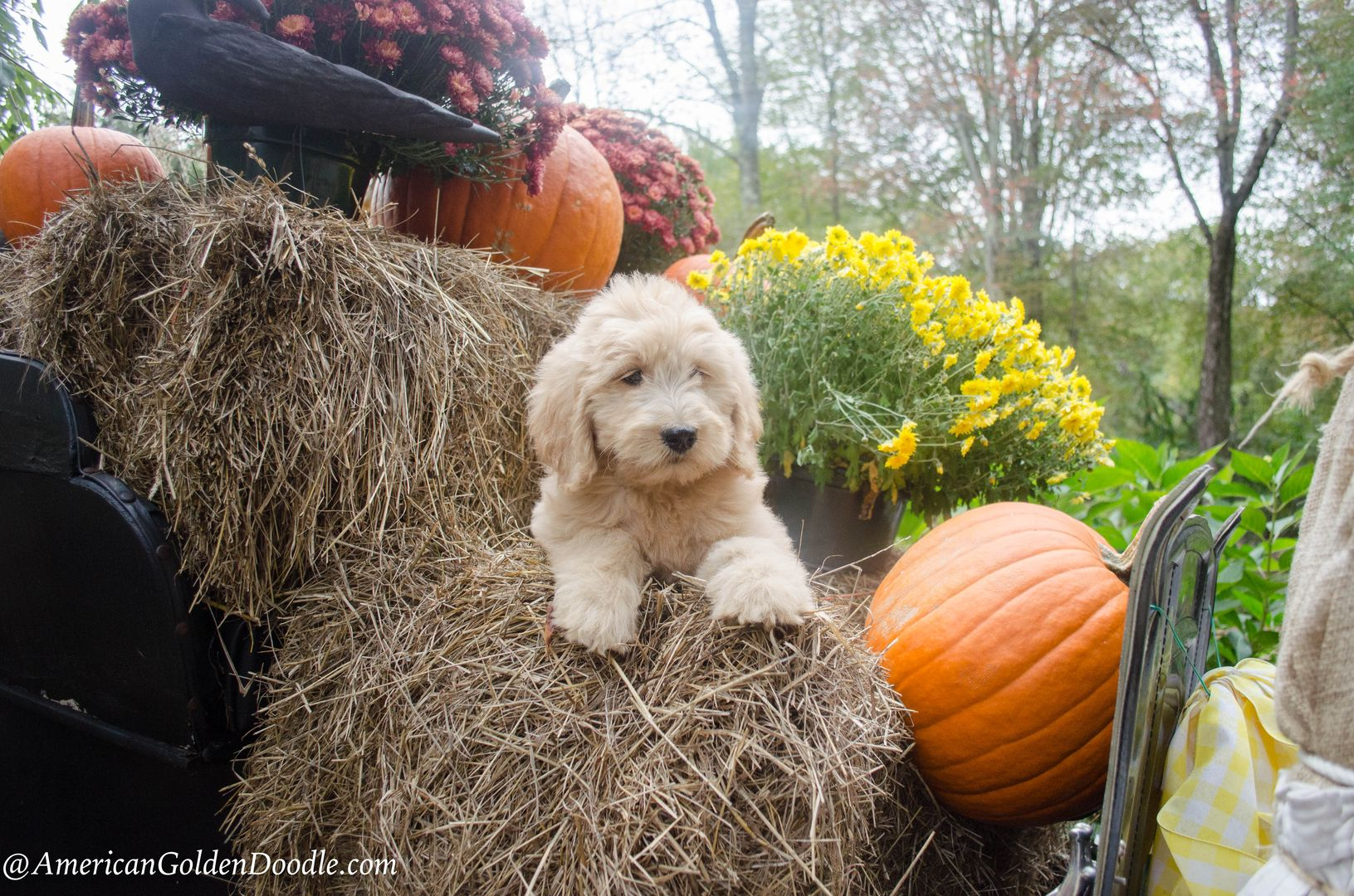 Goldendoodle Puppies for Sale Massachusetts American