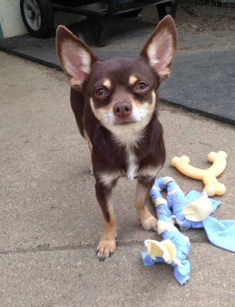 Adopt Jasmine On Petfinder Chihuahua Dogs Kittens And Puppies Cute Dogs