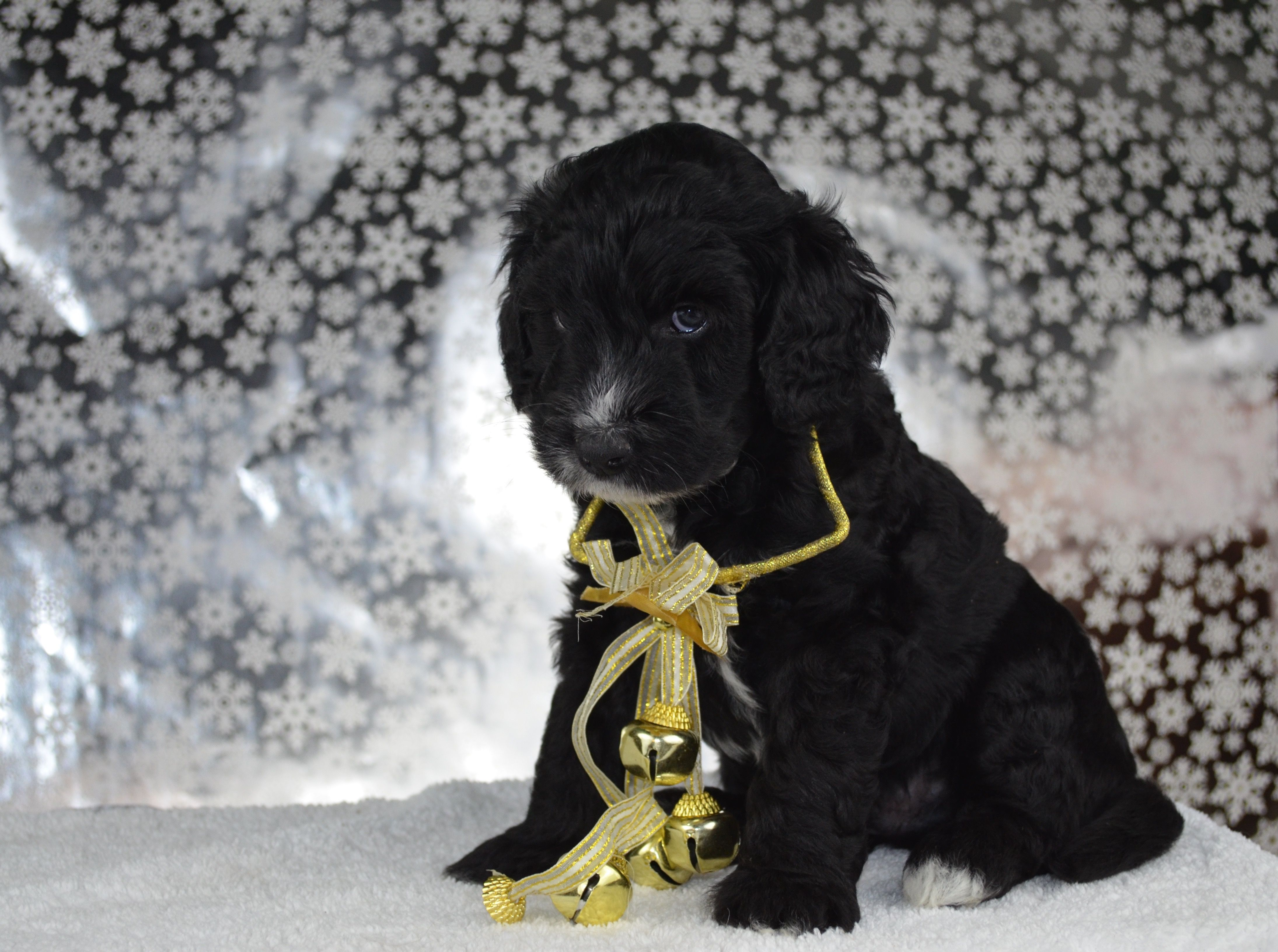 Mini Goldendoodle Puppy from Beck Kennel Goldendoodle