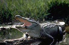 Alligatore attacca bambino in Florida, l'esperto di Firenze: era preda ... - Firenze Post - http://bit.ly/1Opor6G - Pet Community and Social Network