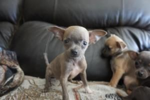 Queeliegh Is An Adoptable Chihuahua Dog In Delta Oh Name