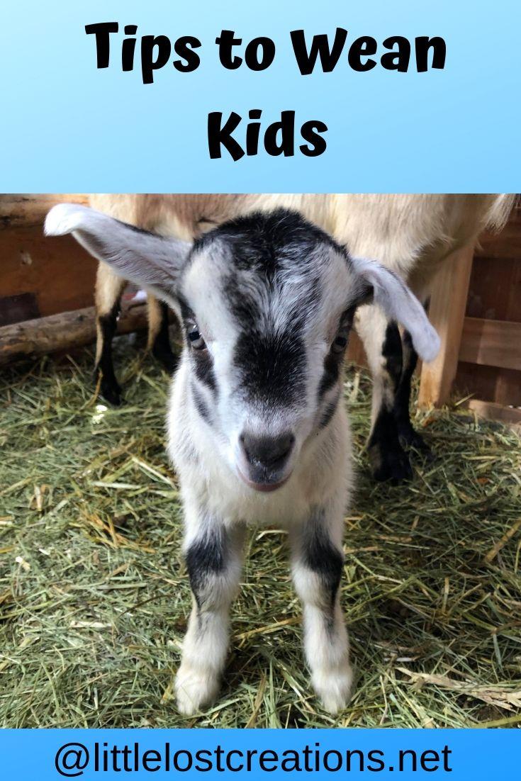 Tips to Wean Baby Goats Baby goats, Goats, Cute goats