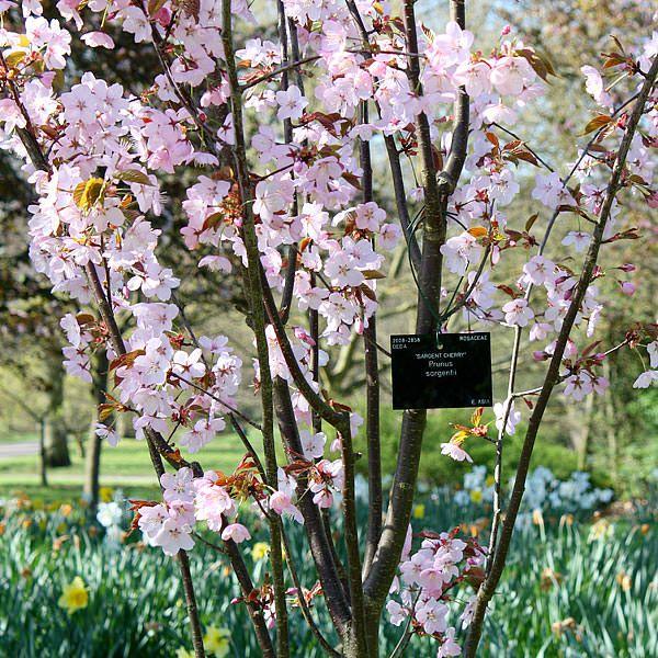 Prunus Sargentii Sargent S Cherry Tree Shrub Majestic Trees