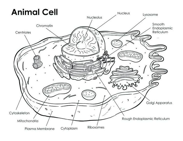 Animal Cell Coloring Page Answers Animal Cell Drawing Animal