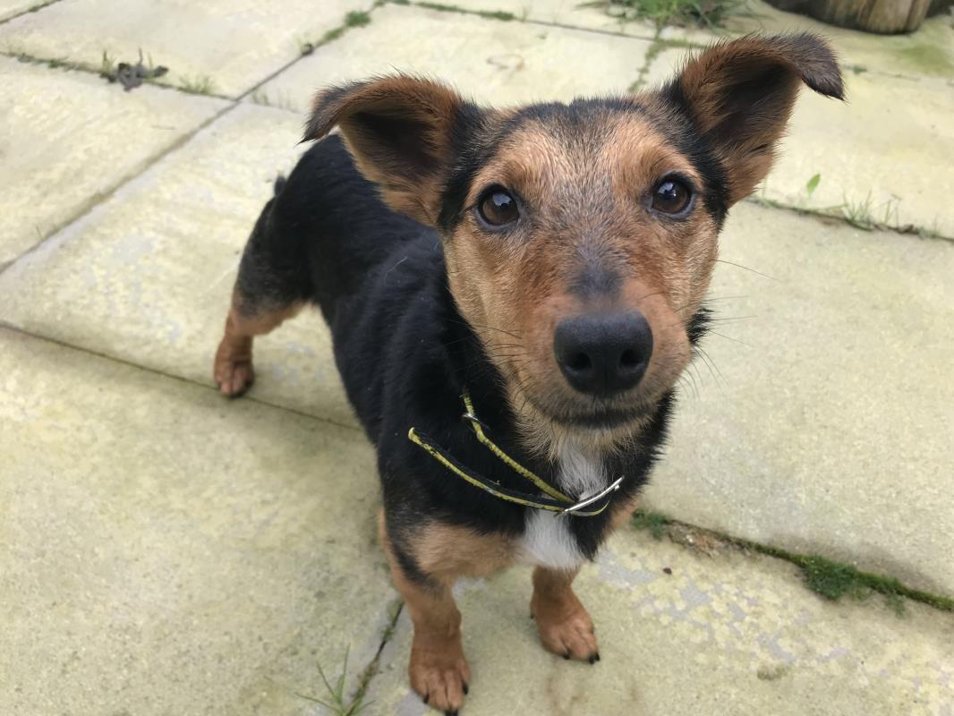 Adopt a Dog Midge, Terrier Fox Smooth Hr Dogs Trust