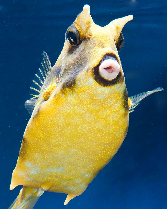 Longhorn Cowfish Cow Fish Marine Animals Ocean Creatures