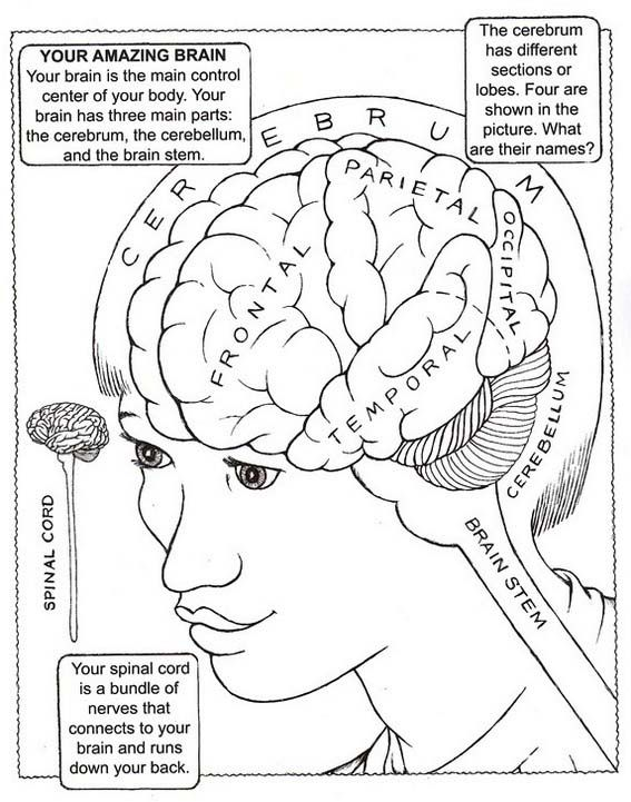 parts and functions of brain drawing picture | Brain ...