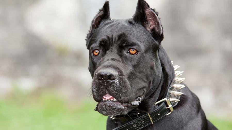 Cane Corso Price Temperament Life Span Cane Corso Dog