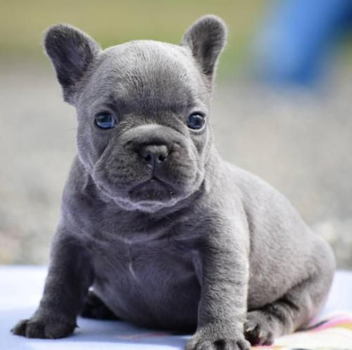 Blue French Bulldog Puppies For Sale In Ohio Bulldog Puppies