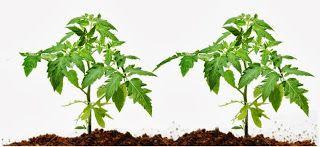 Photo of foglie di pomodoro per allontanare le formiche