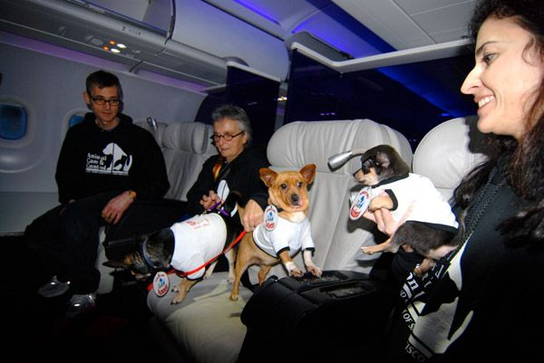 """Folks from San Francisco Animal Care & Control get the """"ChiChis"""" acquainted onboard our """"Operation Chihuahua"""" flight"""