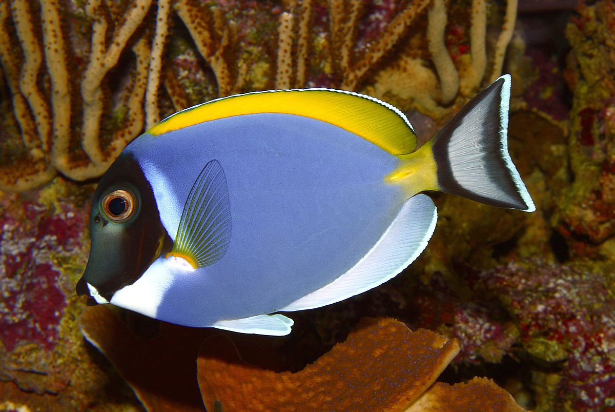 Powderblue Surgeonfish Acanthurus Leucosternon 54 Cm Indian Ocean In Shallow Clear Coastal And Island Reefs In Flats And O Blue Tang Fish Fish Tropical Fish