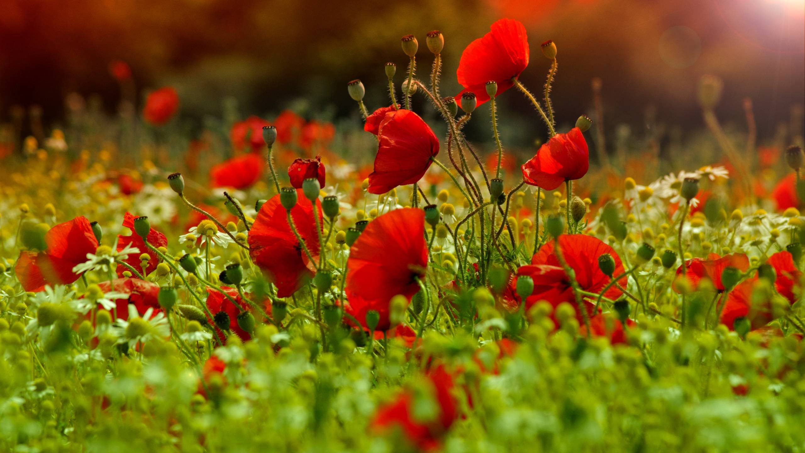 poppy flowers hd wallpaper 1920×1200 poppy images wallpapers (38