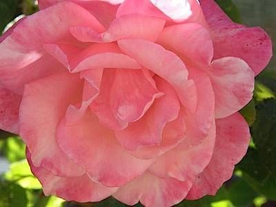 Rose Guide from Farmer's Almanac