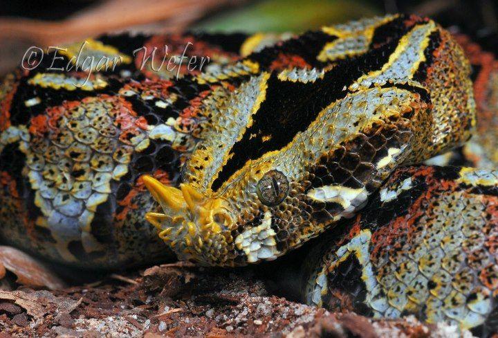 Rhinoceros Viper Beautiful Snakes Rhinoceros Cute Reptiles