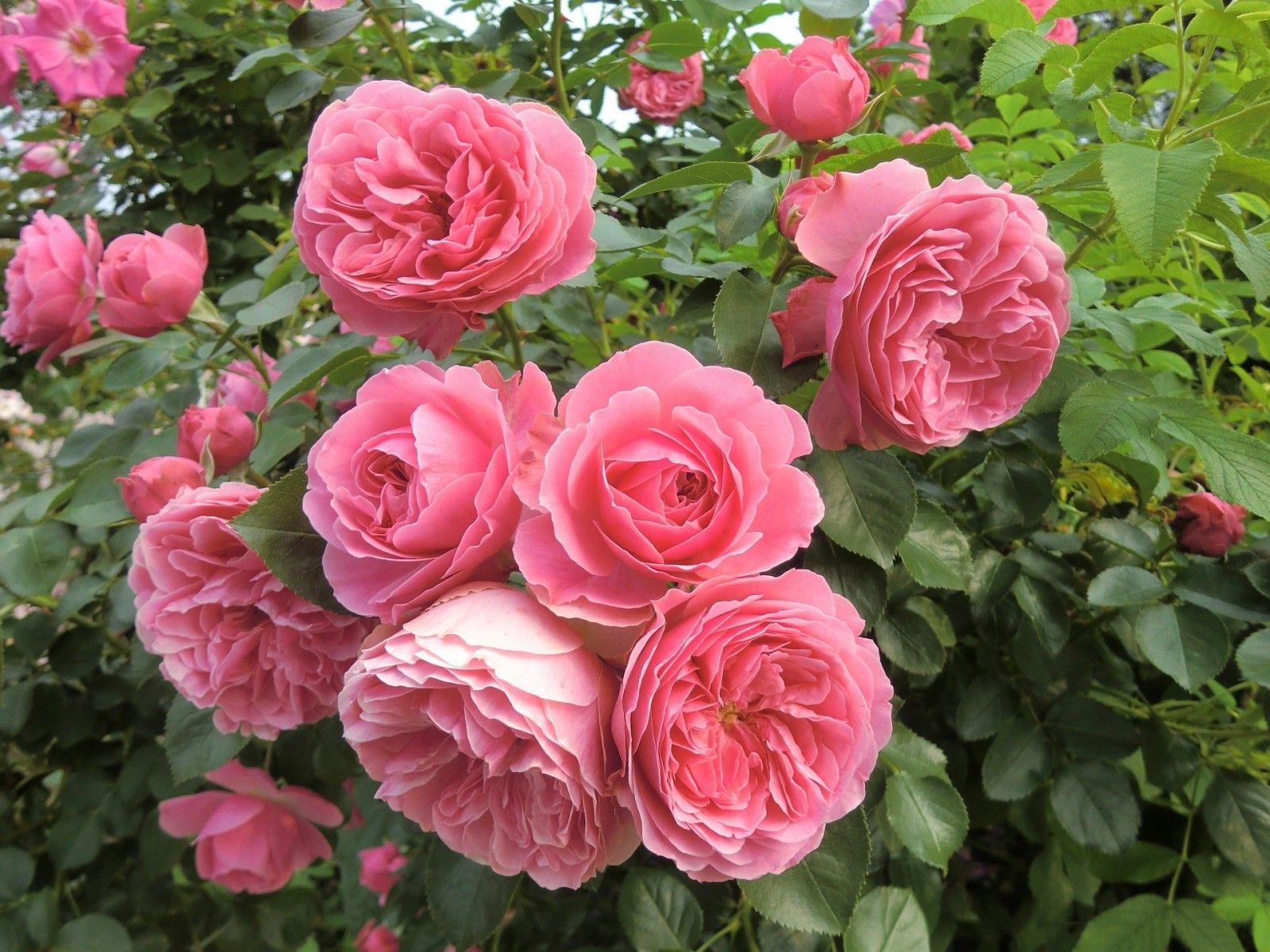 Flowers josh pinterest climbing roses flowers and plants flowers dhlflorist Image collections