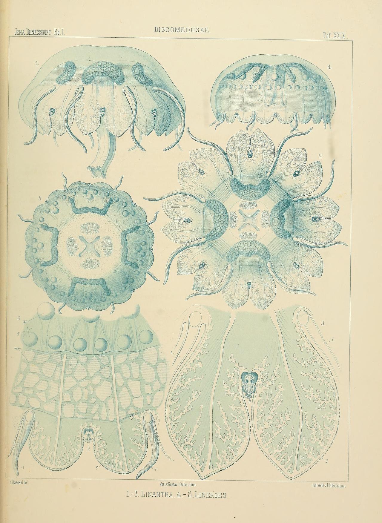 Denkschriften der Medicinisch-Naturwissenschaftlichen Gesellschaft zu Jena. Bd.1:T.1 (1879) plates  Jena :Fischer,1878-1932.  Biodiversitylibrary. Biodivlibrary. BHL. Biodiversity Heritage Library