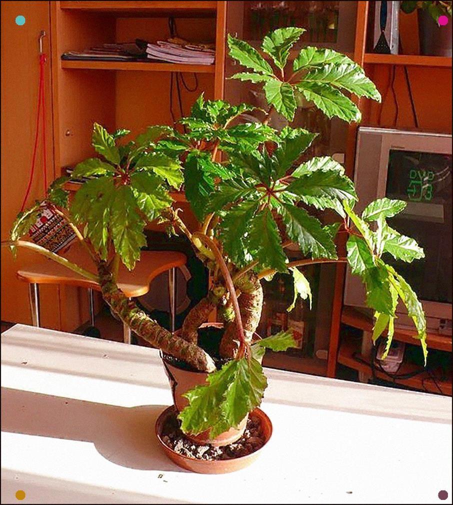 Begonia Caroliniifolia Begonia Planting Flowers Plants