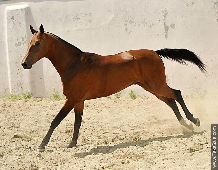 Horse Akhal Teke Gadjimar Cheval