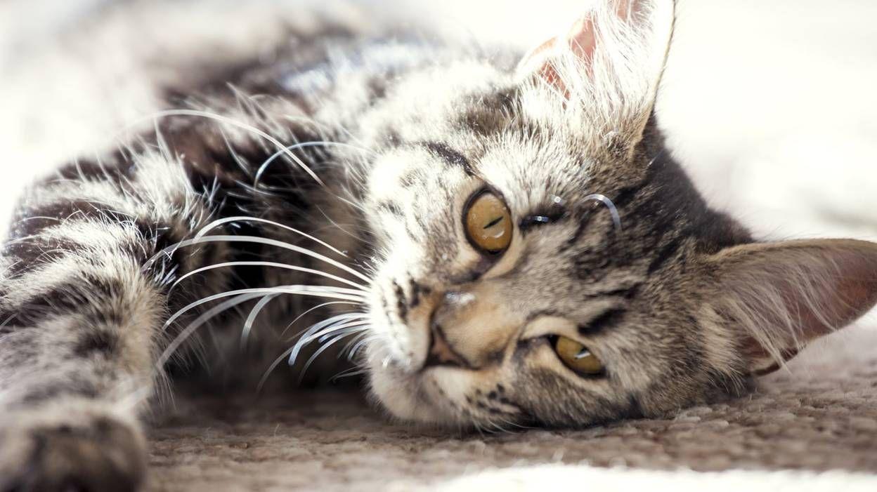 Il n'est pas toujours évident de décrypter et interpréter le comportement de nos animaux de compagnie. Plus particulièrement le chat, car c'est un animal certes joueur, mais qui a parfois un caractère très capricieux.