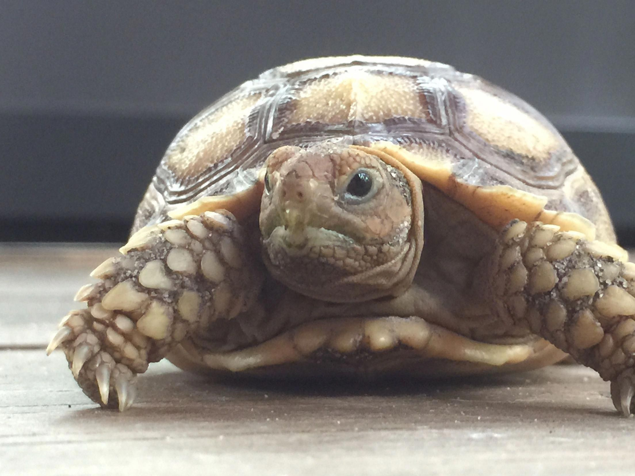 VULNERABLE: A baby African Spurred Tortoise, native to the ...