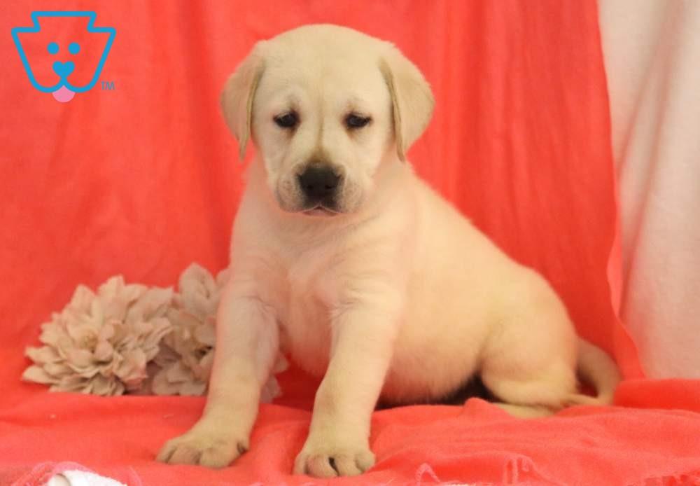 Champ Labrador Retriever English Cream Puppy For Sale