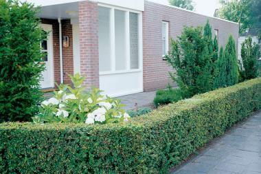 Berberitze  Die Berberis thunbergii (Berberitze) ist eine blattabwerfende Pflanze, die sich ausgezeichnet zur Verwendung in Hecken eignet. Durch ihre maximale Höhe von etwa 1,50 bis 2,00 Meter eignet sich die Berberitze ausschließlich für relativ niedrige Hecken. Da die Berberitze Dornen an den Ästen hat, ist der Rückschnitt einer Hecke dieser Art ohne Schutzkleidung lästig.