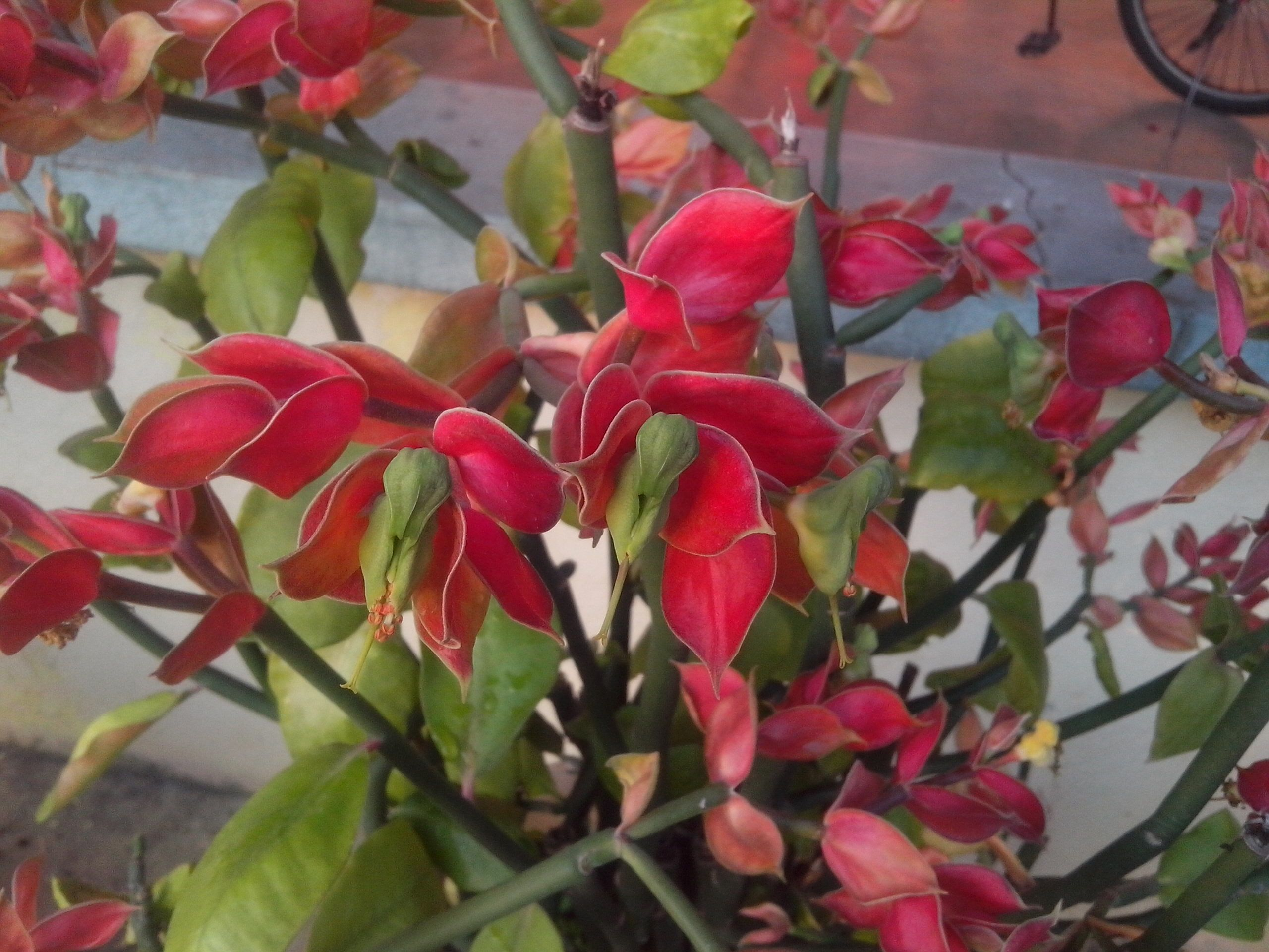 How To Bring Good Luck euphorbia coalcomanensis or little bird flower. this plant