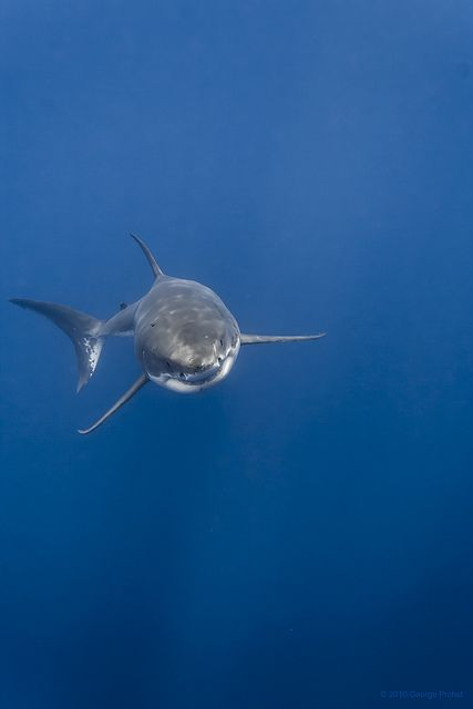 Great White Shark Rising White Sharks Great White Shark Shark