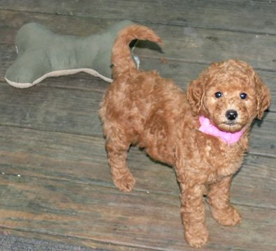Australian Labradoodle Puppy For Sale In Windsor Ct Adn 50111 On