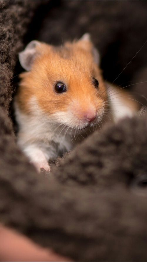 Animals Wallpapers And Hamster Image Funny Hamsters Cute Hamsters Cute Rats