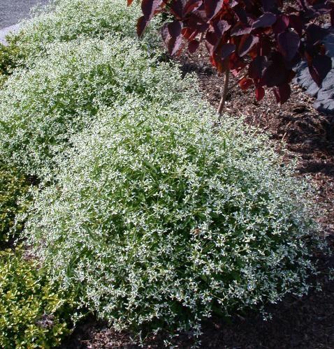 euphorbia Diamond Frost Nice border plant! Annual unless u bring it ...