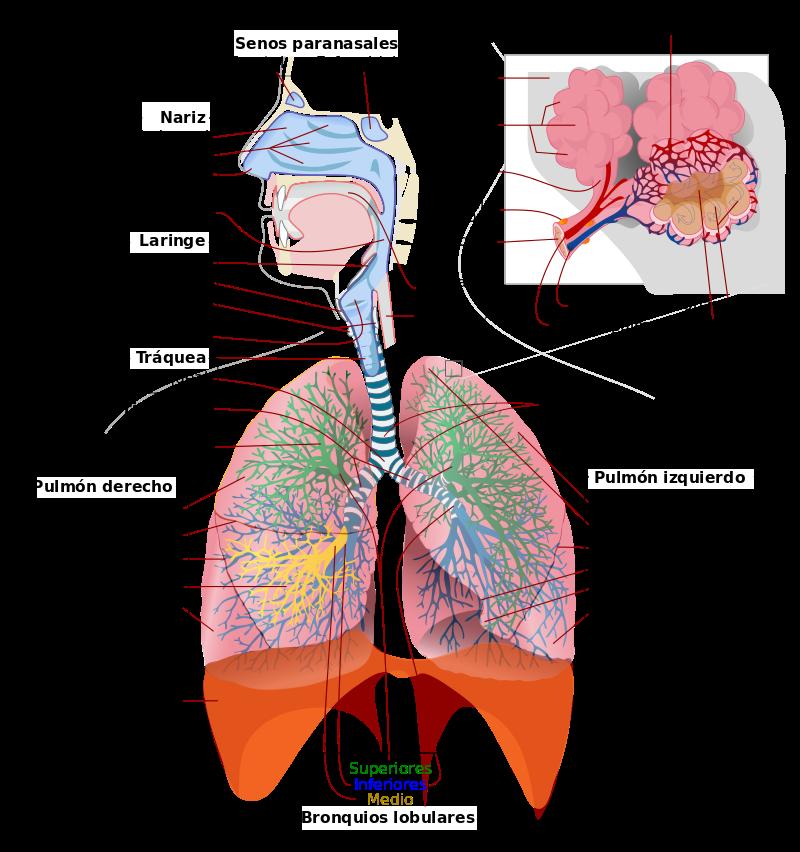 Aparato Respiratorio Wikipedia La Enciclopedia Libre Aparato Respiratorio Pulmones Anatomia Imagenes Del Aparato Respiratorio
