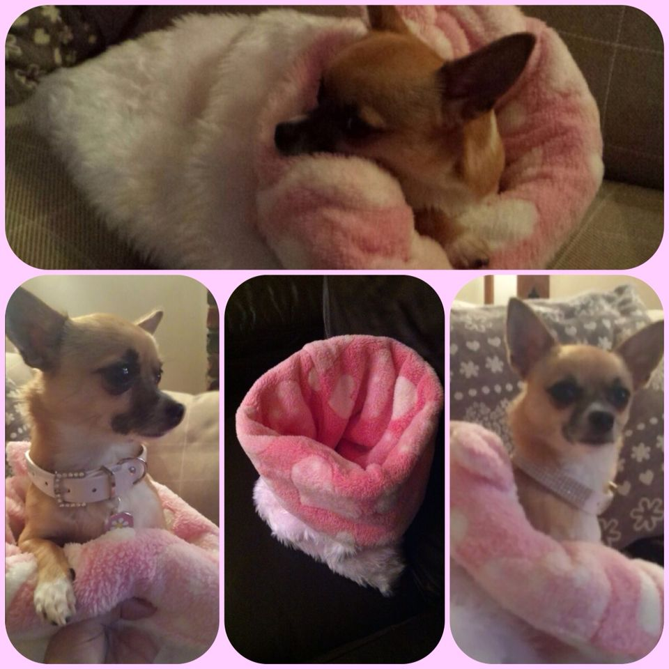 Reversible Chihuahua Snuggle Sak... Miss Daisy all cwtched up for the winter