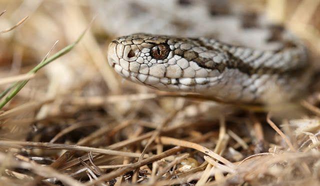genusvipera: Vipera ursinii | Snakes | Рептилии y Амфибии
