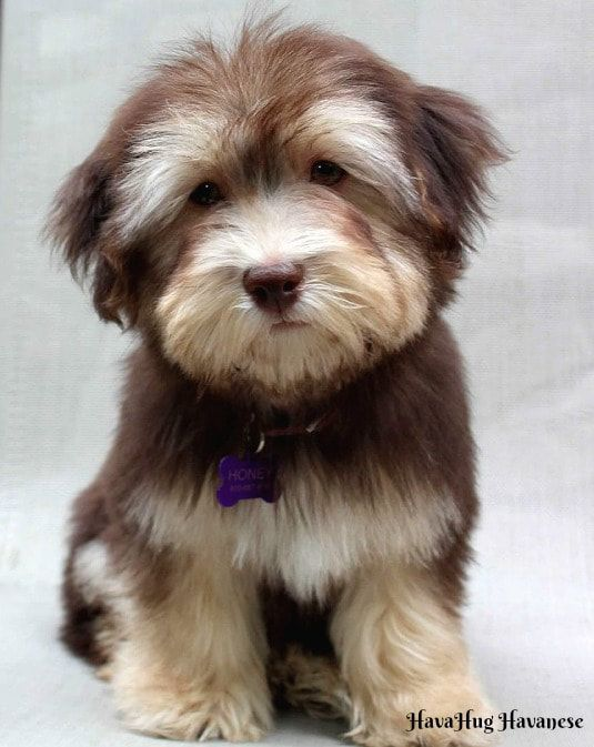 Havahug Havanese Puppies Is A Michigan Based Havanese Breeder Of